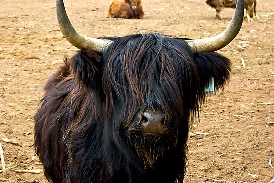 Highland Cattle #2 by Trevor Kersley