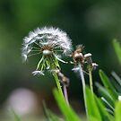 Dandelion by Lolabud