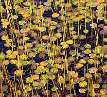Light on the Lily Pads by Harry Oldmeadow