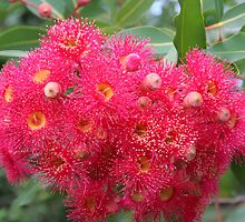 Flowering Gum Explosion by Sally Haldane