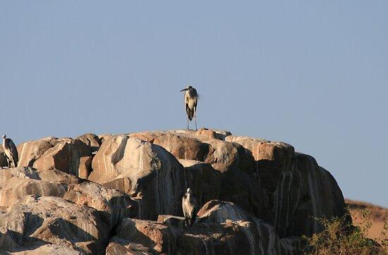 Heron by rhallam