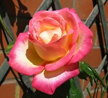 Radiant Rose Beauty by Kathryn Jones