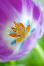 Summer Tulip by Renee Hubbard Fine Art Photography