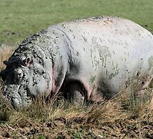 hippopotamus by rhallam
