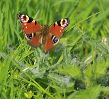 peacock in the grass by Grandalf