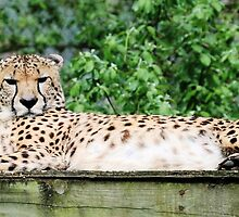 Cheetah 14 by rhallam