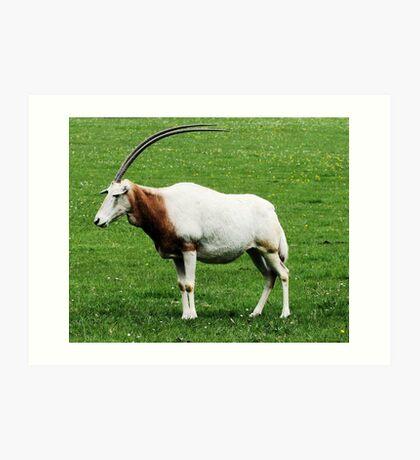 Scimitar horned oryx 5 Art Print