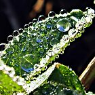 Dewdrops on a Leaf by dawiz1753