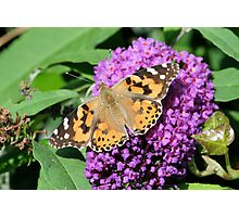 Painted Ladty butterfly 2 Photographic Print