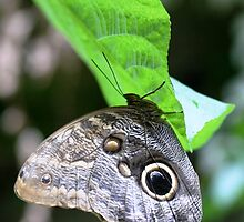 Owl butterfly hanging by rhallam