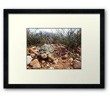 Leopard Tortoise Framed Print