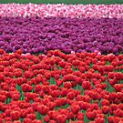 Rows and rows of color by Kathy Yates