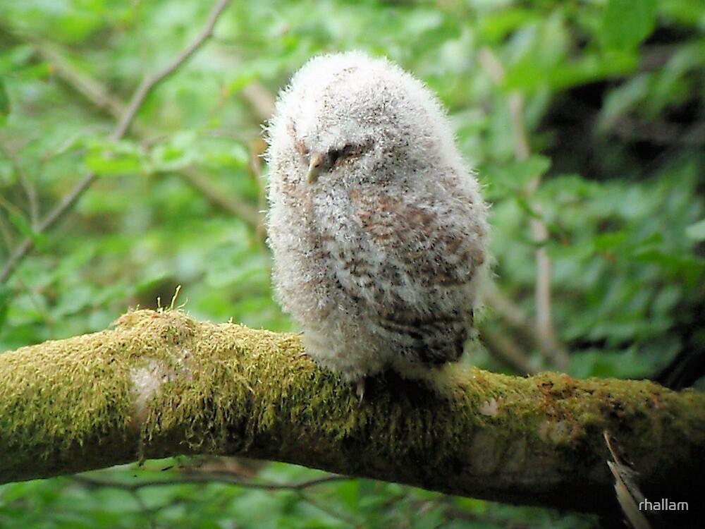 Baby Tawny Owl by rhallam