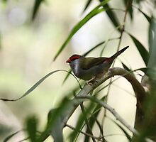 Red-browed Firetail by Jerry Tingle