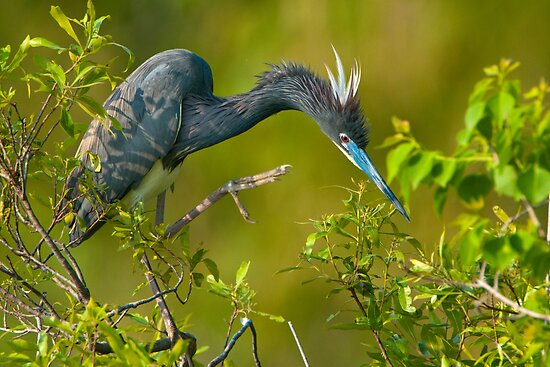 Tri Color Heron of Jefferson Island by Bonnie T.  Barry