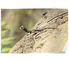 Eastern Water Dragon youngster Poster