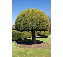 Topiary tree Photographic Print