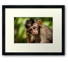 Macaca Fascicularis Framed Print