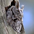 Screech In Grey Phase / Eastern Screech-Owl by Gary Fairhead