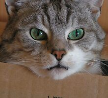 Oi this box is mine! Cat owns box. by patjila
