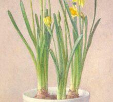 Narcissus Tete-a-tete Sticker