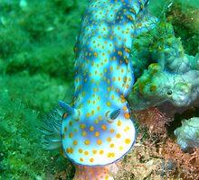 Nudibranchs by Robbie Labanowski