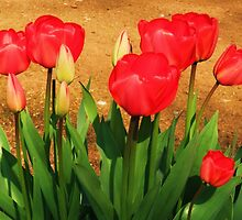 Red Tulips - Chelmsford, UK by MichelleRees