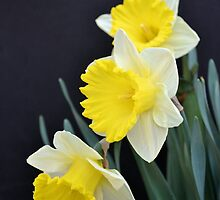 Three Daffodils by Kathleen Brant