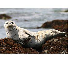 Injured White Seal Photographic Print