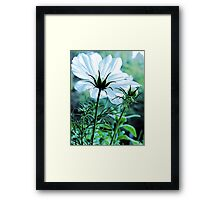 Cosmos - First To Flower --- Bridgton,  Maine Framed Print
