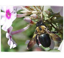 Carpenter Bee Poster