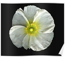 Single White Poppy Poster