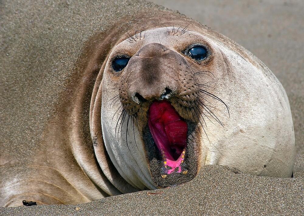 Northern Elephant Seal,  mirounga angustirostris, by Eyal Nahmias