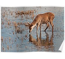 Deer on the Water Poster