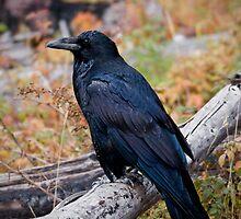 Corvus corax - Yellowstone by starsofglass