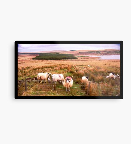 Ram of Donegal Metal Print