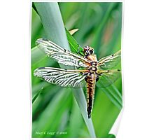 Newly emerged  Four-Spotted Chaser libellula quadrimaculata  Poster