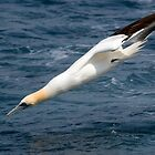 gannet diving in by Grandalf