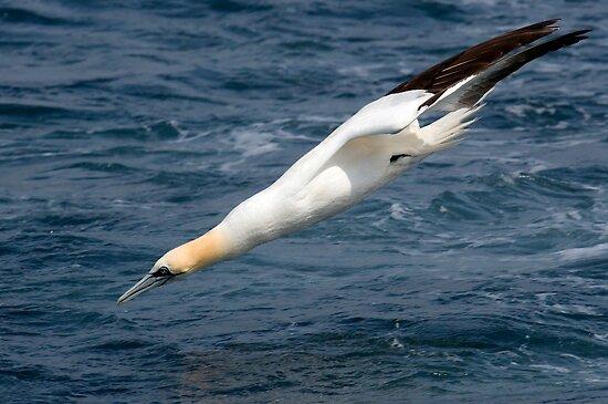 gannet (Morus bassannus) by Grandalf