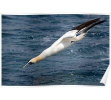gannet (Morus bassannus) Poster