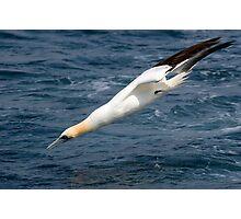 gannet (Morus bassannus) Photographic Print