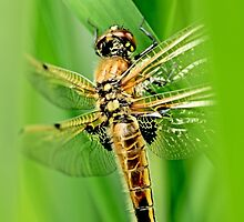 Newly emerged  Four-Spotted Chaser libellula quadrimaculata. by pogomcl