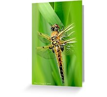 Newly emerged  Four-Spotted Chaser libellula quadrimaculata. Greeting Card