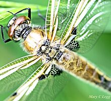 Newly emerged  Four-Spotted Chaser libellula quadrimaculata by pogomcl