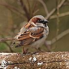Male House sparrow by LisaRoberts