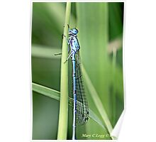 a newly emerged damselfly  hides from potential predators Poster