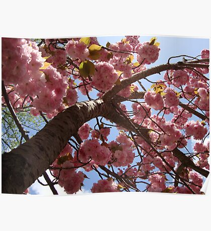The Cherry Blossom Tree Poster