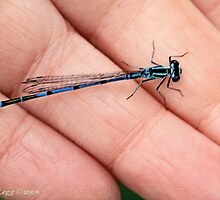 Azure damselfly, coenagrion puella,  in photographer's hand by pogomcl
