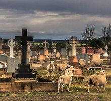 Sheep in the Cemetery - Clifton Qld Australia by Beth  Wode