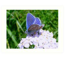 Blue Butterfly on White Flowers Art Print